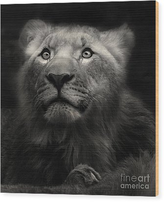 Lion In The Dark Wood Print