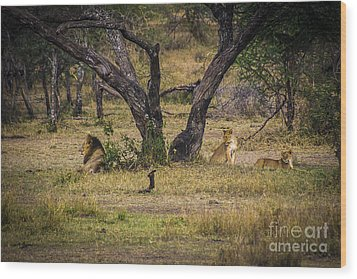 Lion In The Dog House Wood Print by Darcy Michaelchuk