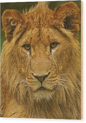 Lion Wood Print by Paul Scoullar