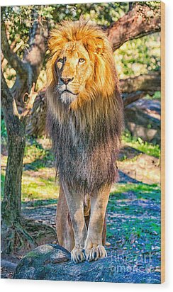 Lion Standing On Rocks Wood Print by Stephanie Hayes