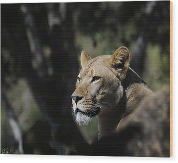 Lion Watching Wood Print by Keith Lovejoy