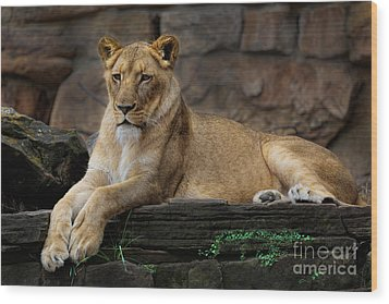 Lioness Wood Print by D Wallace