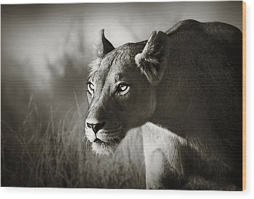 Lioness Stalking Wood Print by Johan Swanepoel