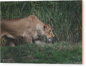 Lioness Stalking Wood Print by Joseph G Holland