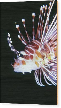 Lionfish 3 Wood Print by Dawn Eshelman