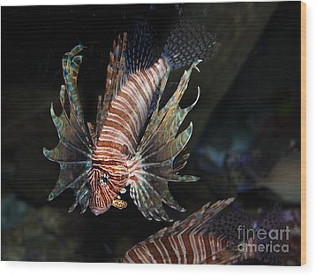 Lionfish 5d24143 Wood Print by Wingsdomain Art and Photography