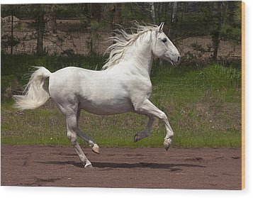 Lipizzan At Liberty Wood Print by Wes and Dotty Weber
