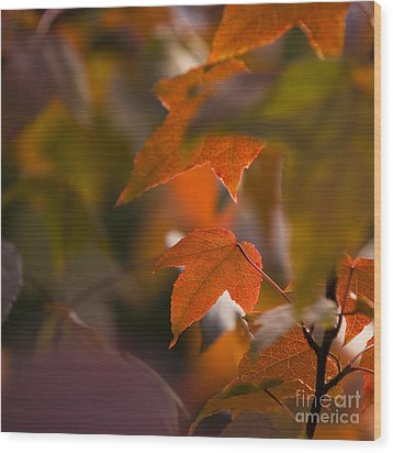 Liquidambar Autumn Wood Print by Anne Gilbert