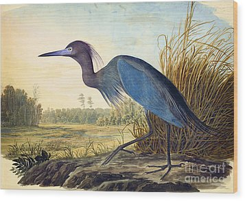 Little Blue Heron Wood Print by Celestial Images