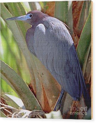Little Blue Heron Male In Breeding Wood Print by Millard H. Sharp
