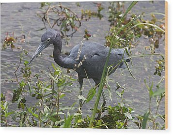 Wood Print featuring the photograph Little Blue Heron - Waiting For Prey by Christiane Schulze Art And Photography