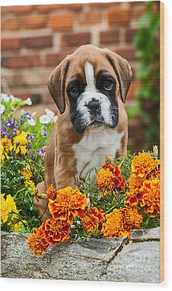 little Boxer Puppy in flowers Wood Print by Doreen Zorn