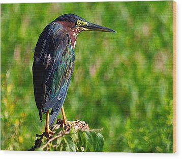 Little Green Heron 002  Wood Print