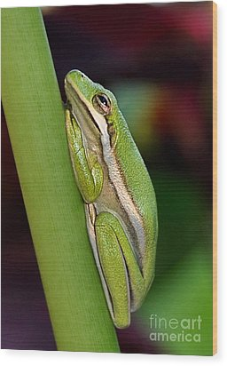 Wood Print featuring the photograph Little Green Tree Frog by Kathy Baccari
