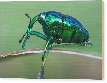 Little Green Weevil Wood Print by Craig Lapsley