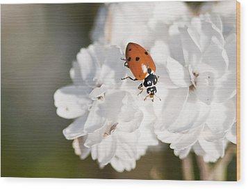 Little Ladybug On Baby's Breath Wood Print