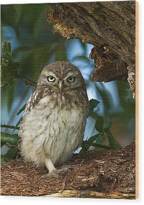 Little Owl Wood Print by Paul Scoullar