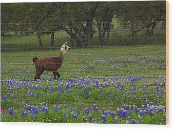 Llama In Bluebonnets Wood Print