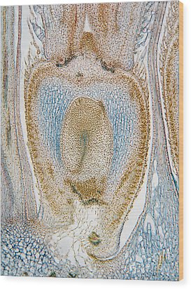 Lm Of Sunflower Ovule Wood Print by Garry DeLong