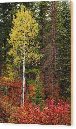 Lone Aspen In Fall Wood Print