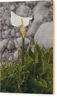 Lone Calla Lily Wood Print by Melinda Ledsome