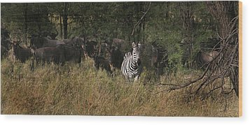Wood Print featuring the photograph Lone Zebra by Joseph G Holland