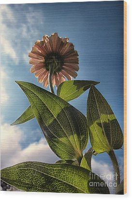 Lone Zinnia 01 Wood Print by Thomas Woolworth