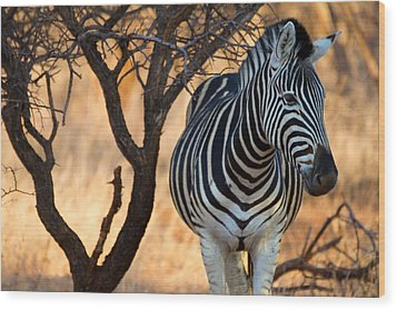 Lonely Zebra Wood Print by Phil Stone