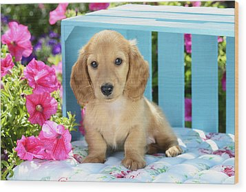 Long Eared Puppy In Front Of Blue Box Wood Print by Greg Cuddiford