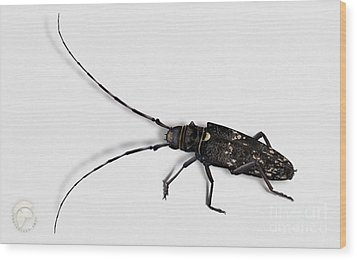Long-hornded Wood Boring Beetle Monochamus Sartor - Coleoptere Monochame Tailleur - Wood Print