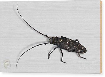 Long-hornded Wood Boring Beetle Monochamus Sartor - Coleoptere Monochame Tailleur - Wood Print
