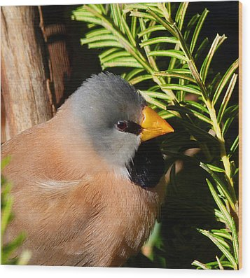 Long-tailed Finch Wood Print by Margaret Saheed