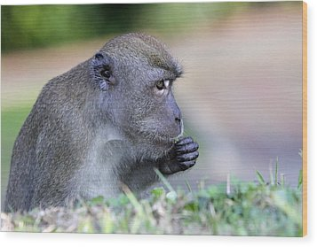 Wood Print featuring the photograph Long Tailed Macaque Feeding by Shoal Hollingsworth