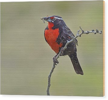 Long-tailed Meadowlark Wood Print by Tony Beck