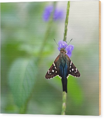 Long Tailed Skipper Wood Print by Laura Fasulo
