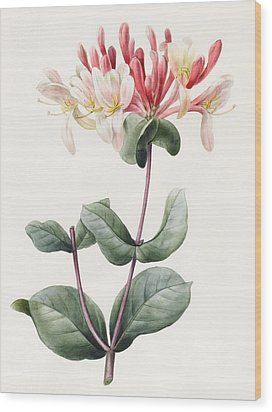Lonicera Periclymenum  Wood Print by Louise D Orleans
