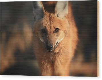 Looks Like A Fox Wood Print by Karol Livote
