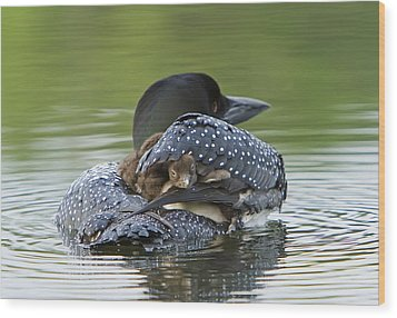 Loon Chick - Peek A Boo Wood Print by John Vose