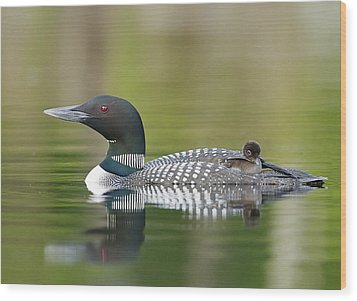 Loon Chick With Parent - Quiet Time Wood Print by John Vose
