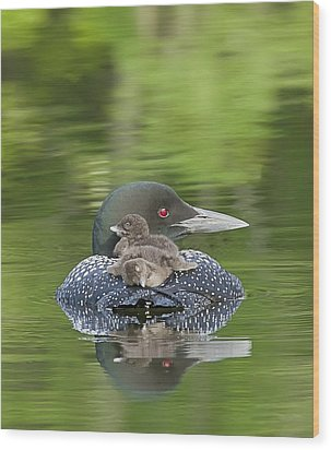 Loon Chicks -  Nap Time Wood Print by John Vose