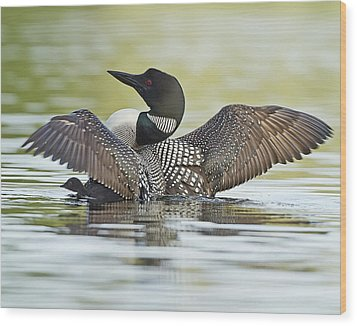 Loon Wing Spread With Chick Wood Print by John Vose