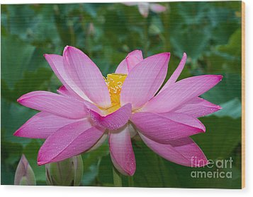 Lotus Flower 2 Wood Print