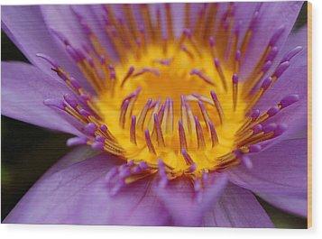 Lotus In Bloom Wood Print by Janet Hawkins