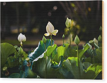 Lotuses In The Evening Light Wood Print by Jenny Rainbow