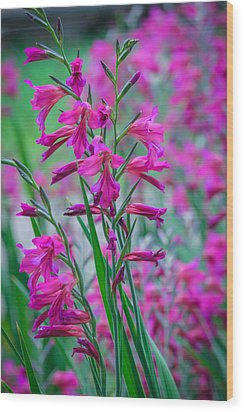 Louisiana Pink Iris Fulva Wood Print by Ester  Rogers