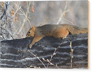 Lounging Fox Squirrel Wood Print