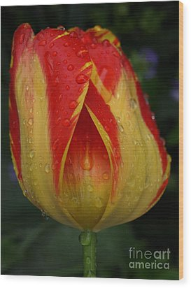Lovely Tulip Wood Print