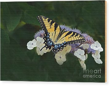 Luminous Butterfly On Lacecap Hydrangea Wood Print by Byron Varvarigos