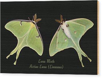 Luna Moth Wood Print by Kristin Elmquist