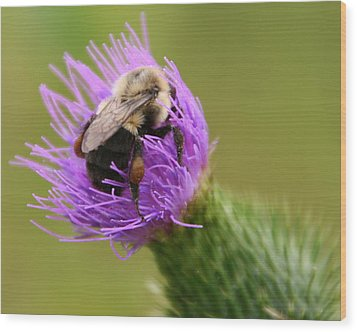 Lunching Atop A Thistle Wood Print by Laurel Talabere